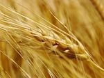 Wheat_closeup